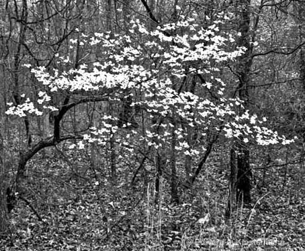 Dogwoods,Rocky Falls, MO