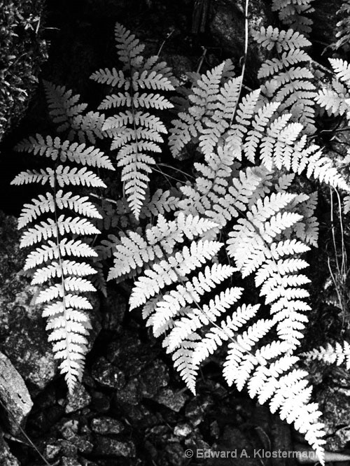 ferns#2 falling springs