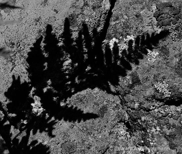 fern shadow