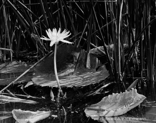 solitary water lily in woods