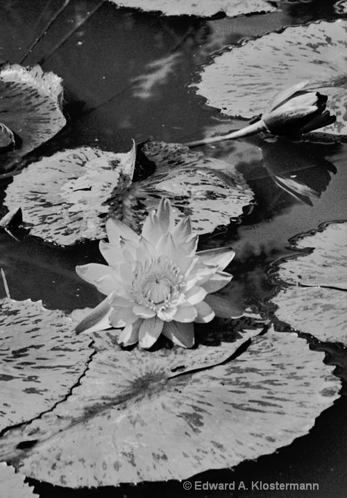 water lily &  pads