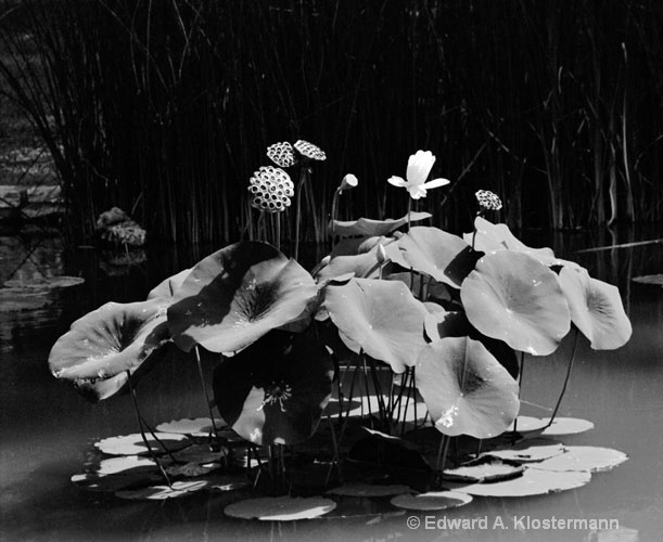 lily pads and plants