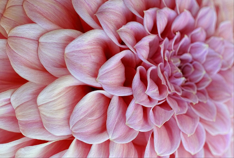 Dahlia in Pink