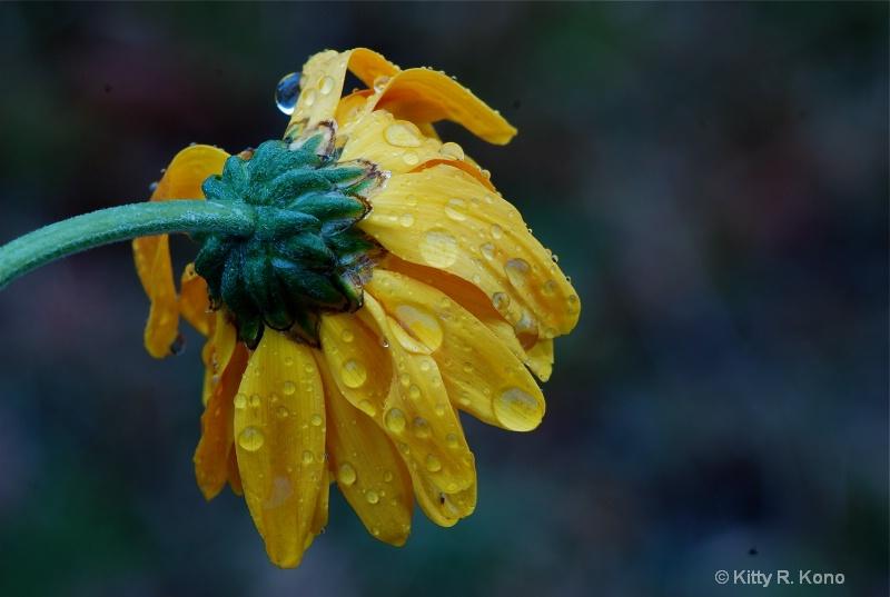 Wet Daisy at Dawn