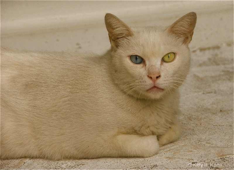 Blue and Green Eyed Cat