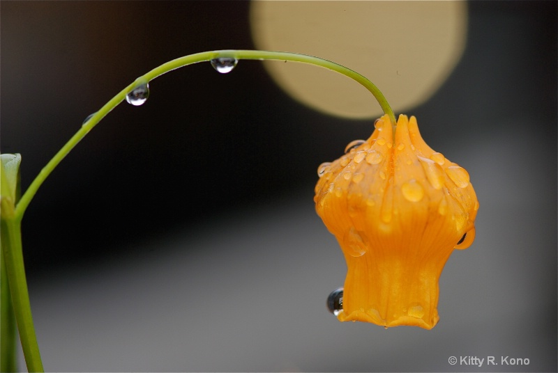 Orange flower in the rain