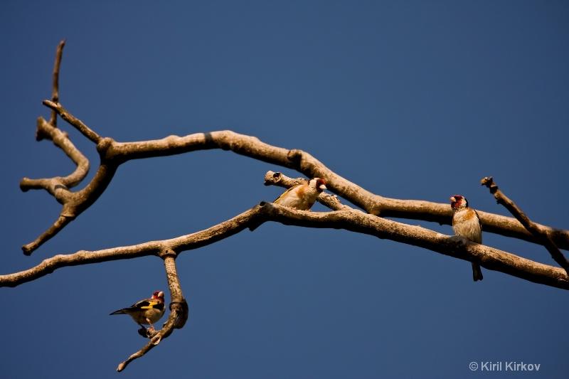Eurasian Goldfinch (Carduelis carduelis)1