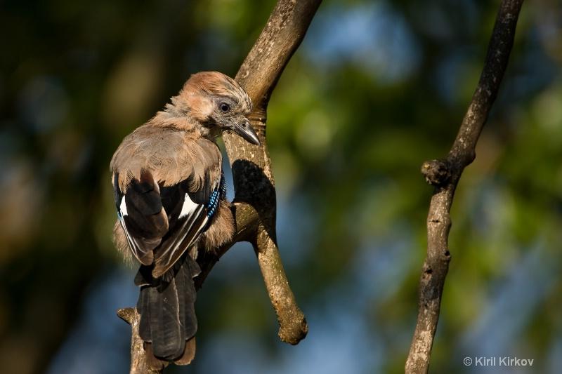 Eurasian Jay (Garrulus glandarius)1