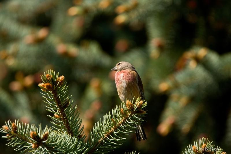 Eurasian Linnet (Carduelis cannabina)1