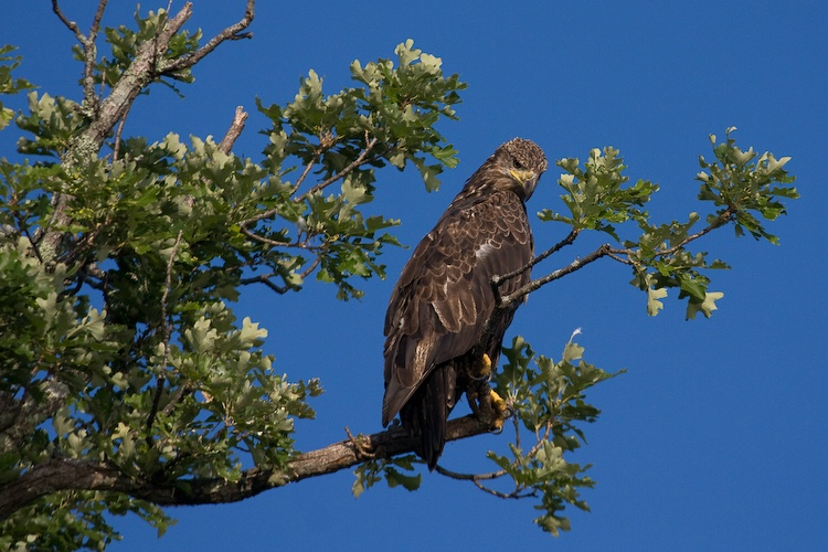 Immature Bald Eagle on Branch