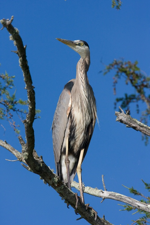 Great Blue Heron Perched on Branch