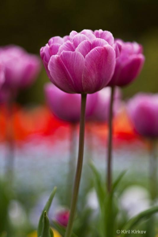 tulip2- 2