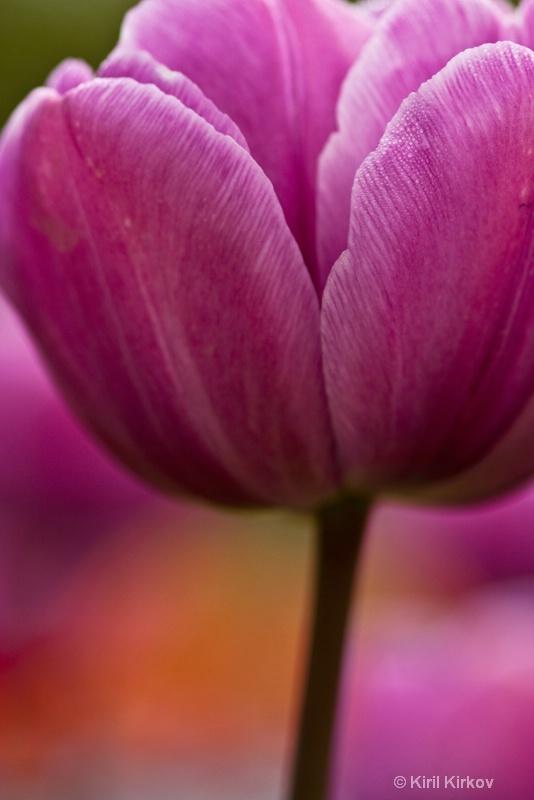 tulip3- 2
