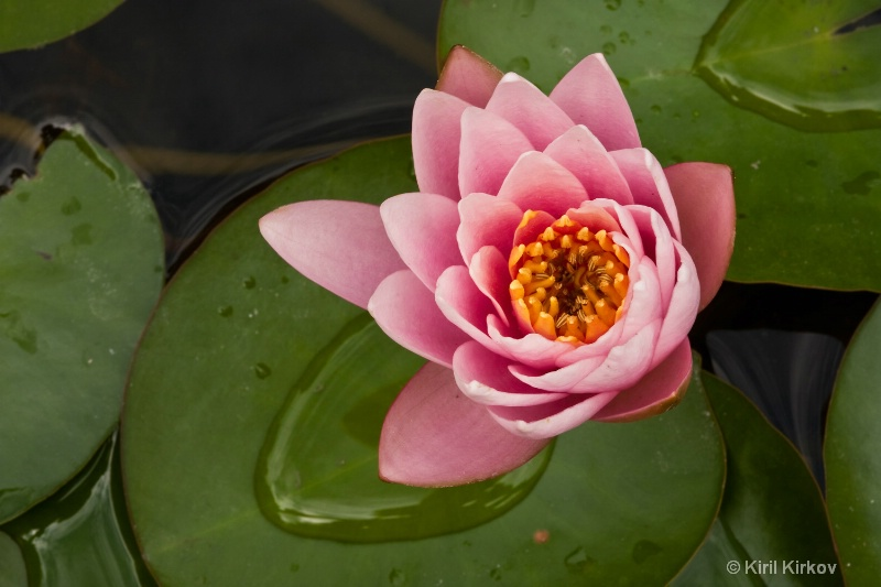 water-lily4