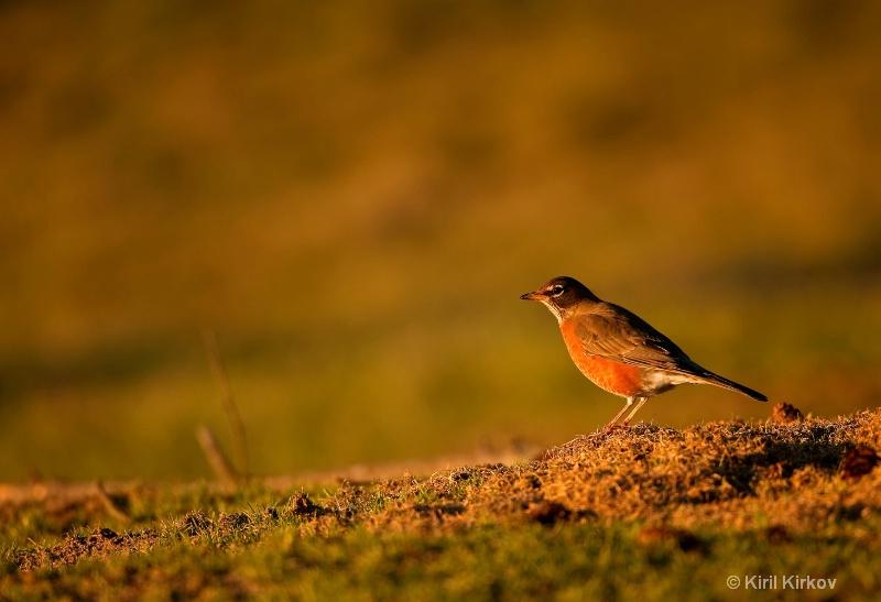 American Robin (Turdus migrator)1