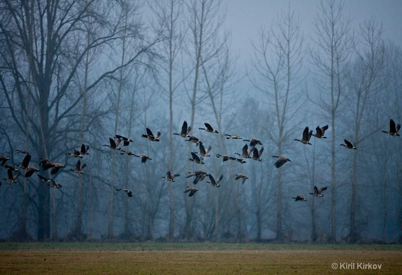 Canada Goose (Branta canadensis)4