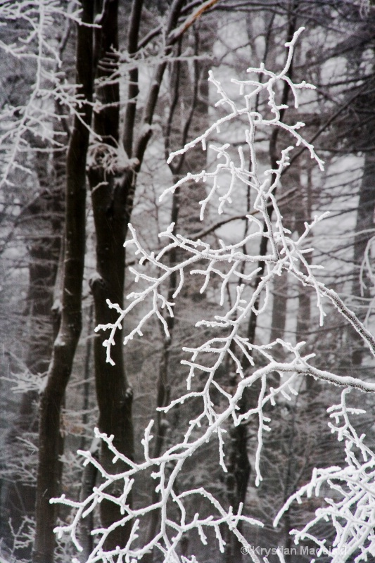 Branch in the winter frost