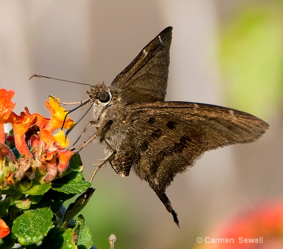 Brown Long Tailed Skipper