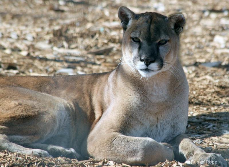 Male Cougar