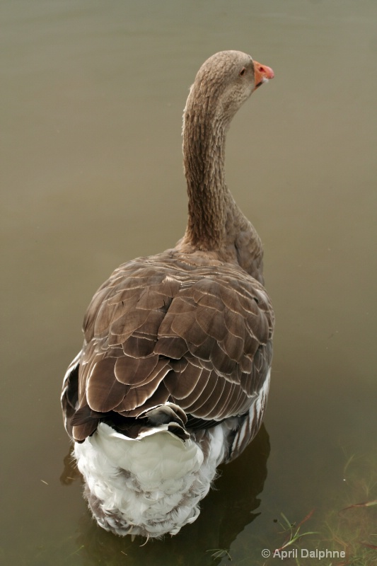Old Gray Goose