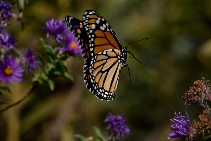 Monarch on Wing