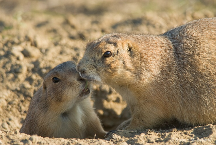 Badlands, SD Prairie Dogs 1167