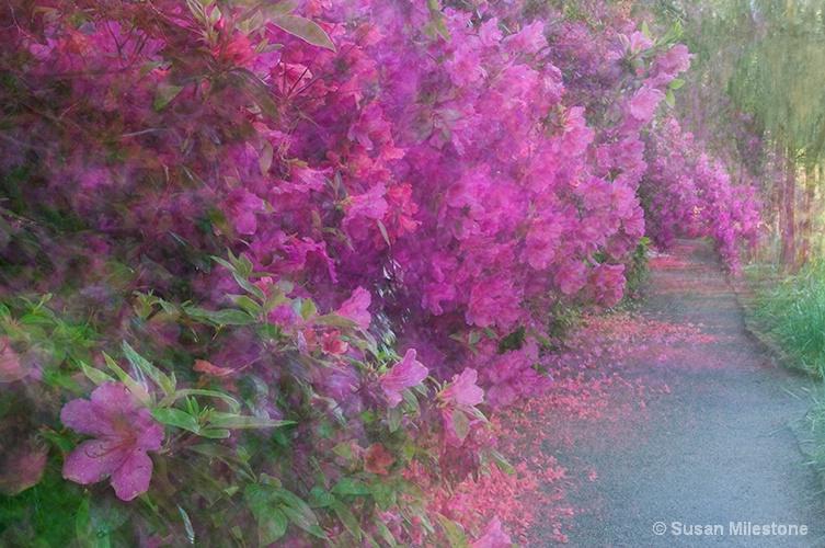 Azalea Path Magnolia Gardens 0896