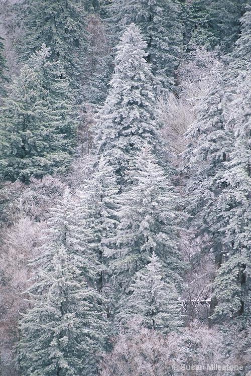 Newfound Gap Spring Snow