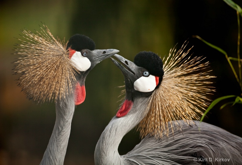 Grey Crowned Crane( Balearica regulorum)3
