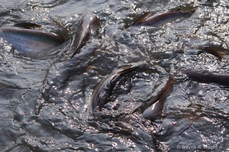 feeding catfish