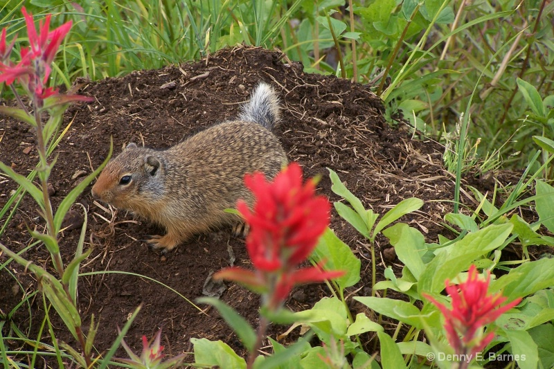 Columbian Ground Squirrel, Canada