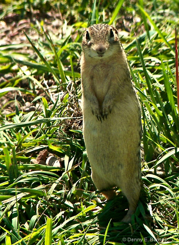 Badlands Prairie Dog, South Dakota