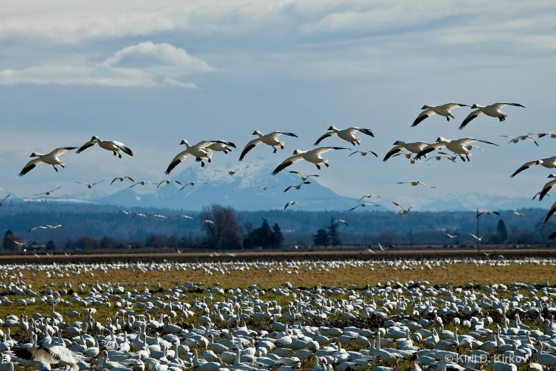 Snow Goose (Anser caerulescens)5