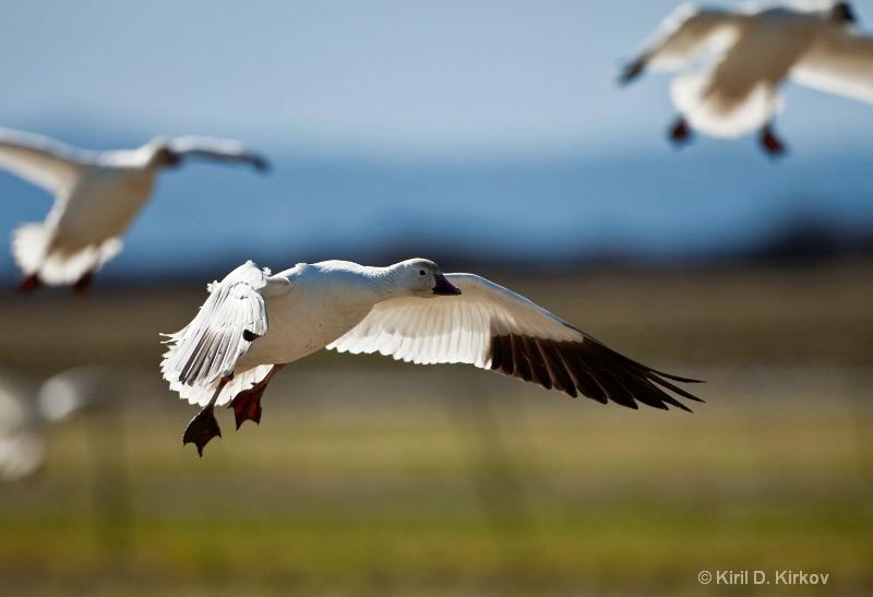 Snow Goose (Anser caerulescens)8
