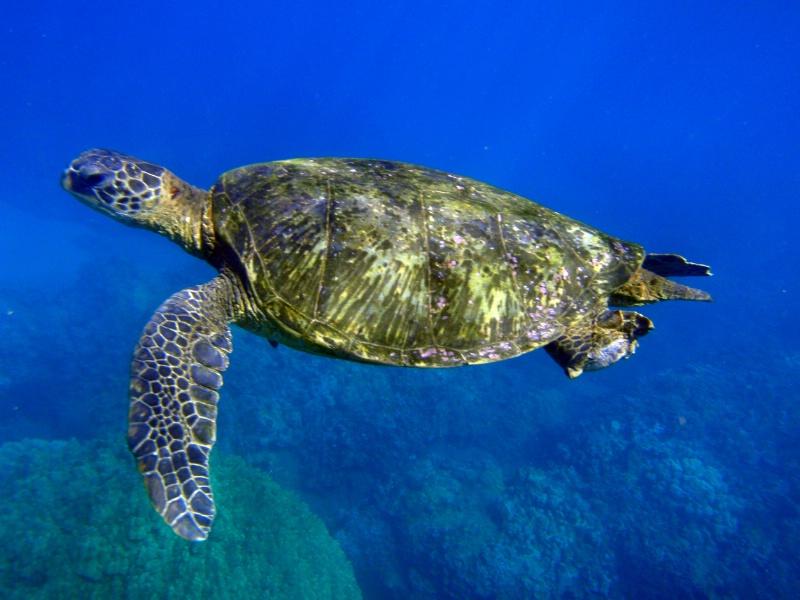 Maui area Turtle