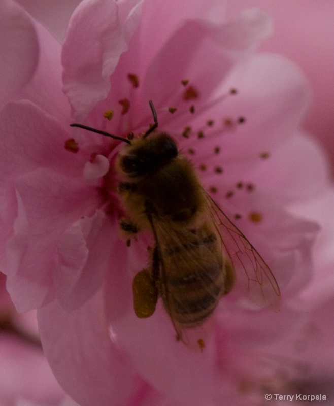 Bee in cherry blossom