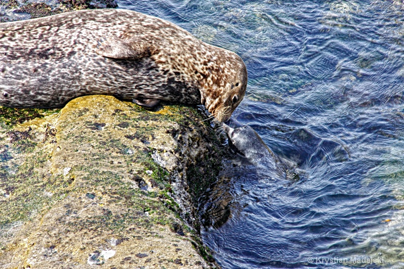 Kissing seals