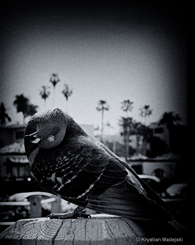 Pigeon in La Jolla Beach