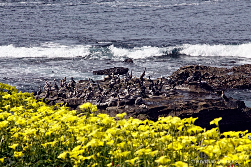 Pelicanos and yellow flowers