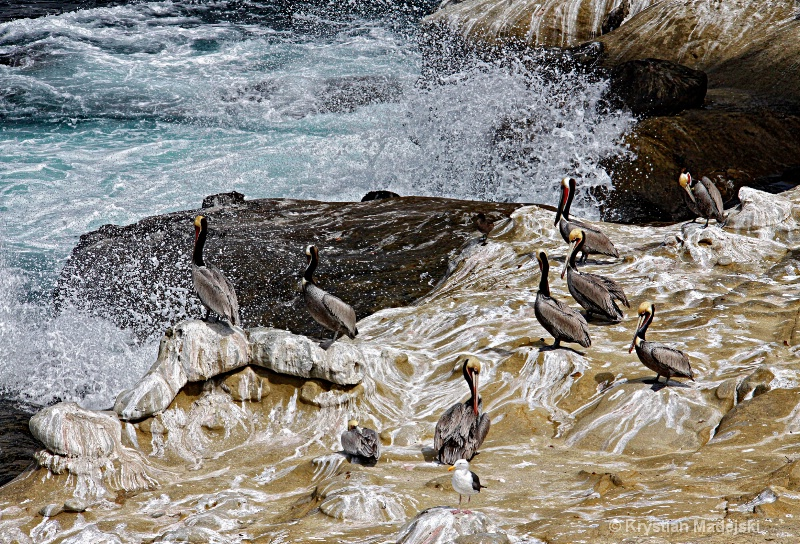 Pelicanos and sea wave