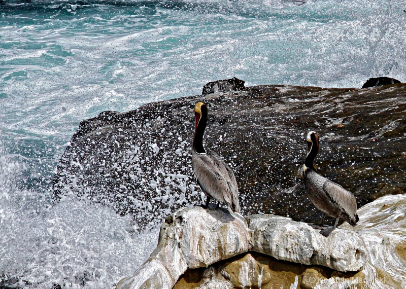 Two pelicanos and the sea wave detail