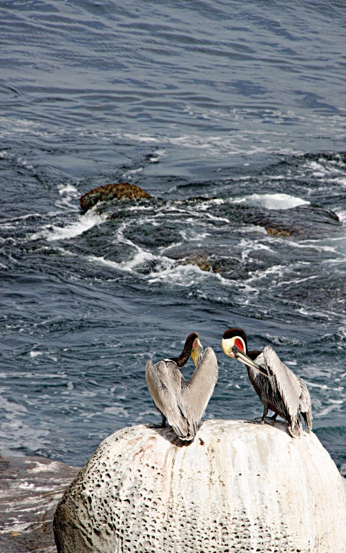 Two pelicanos