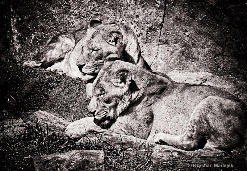 Bible's Lions
