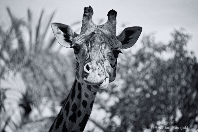 Surprised giraffe