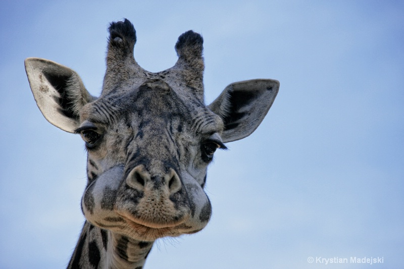 Giraffe with monkey's mouth