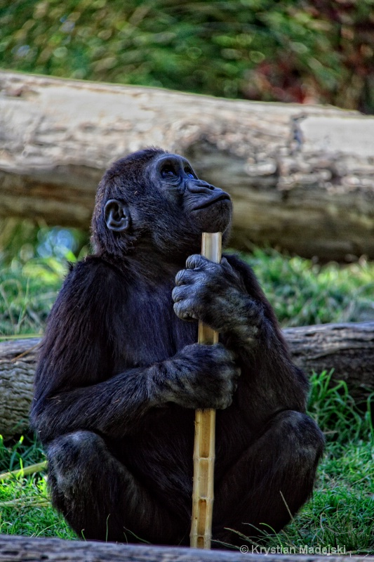Monkey with a bamboo straw
