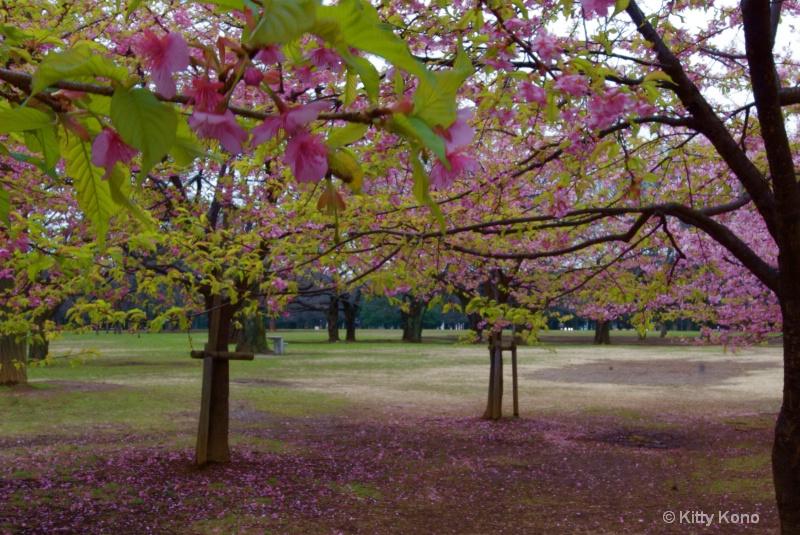 Plum Trees in YoYogi Park