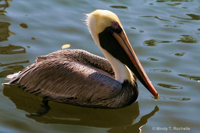 Paddling Pelican