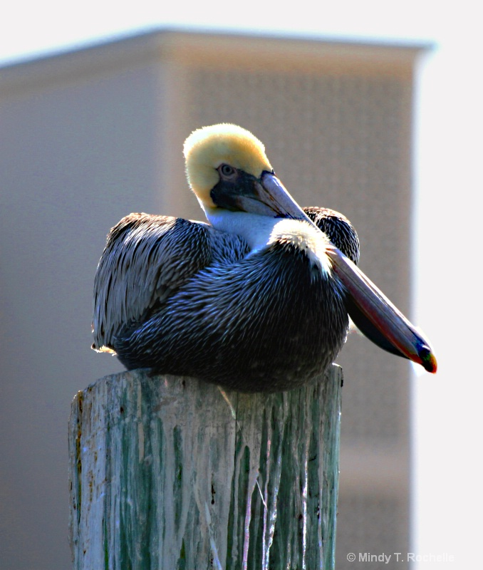 Pelican and Building