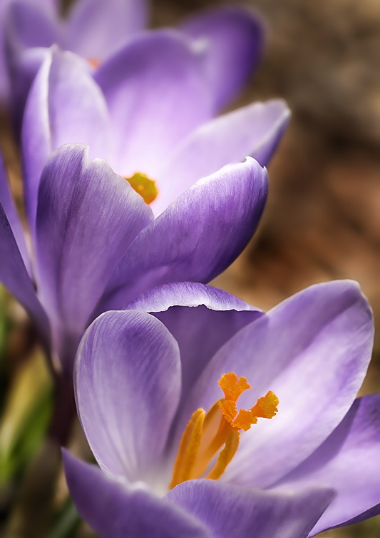 Crocus in the Garden